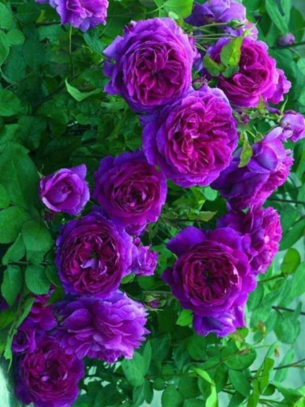 Shell Credit Card Online Services >> PRIYATHAMS Purple Climbing Rose Seed Price in India - Buy PRIYATHAMS Purple Climbing Rose Seed ...