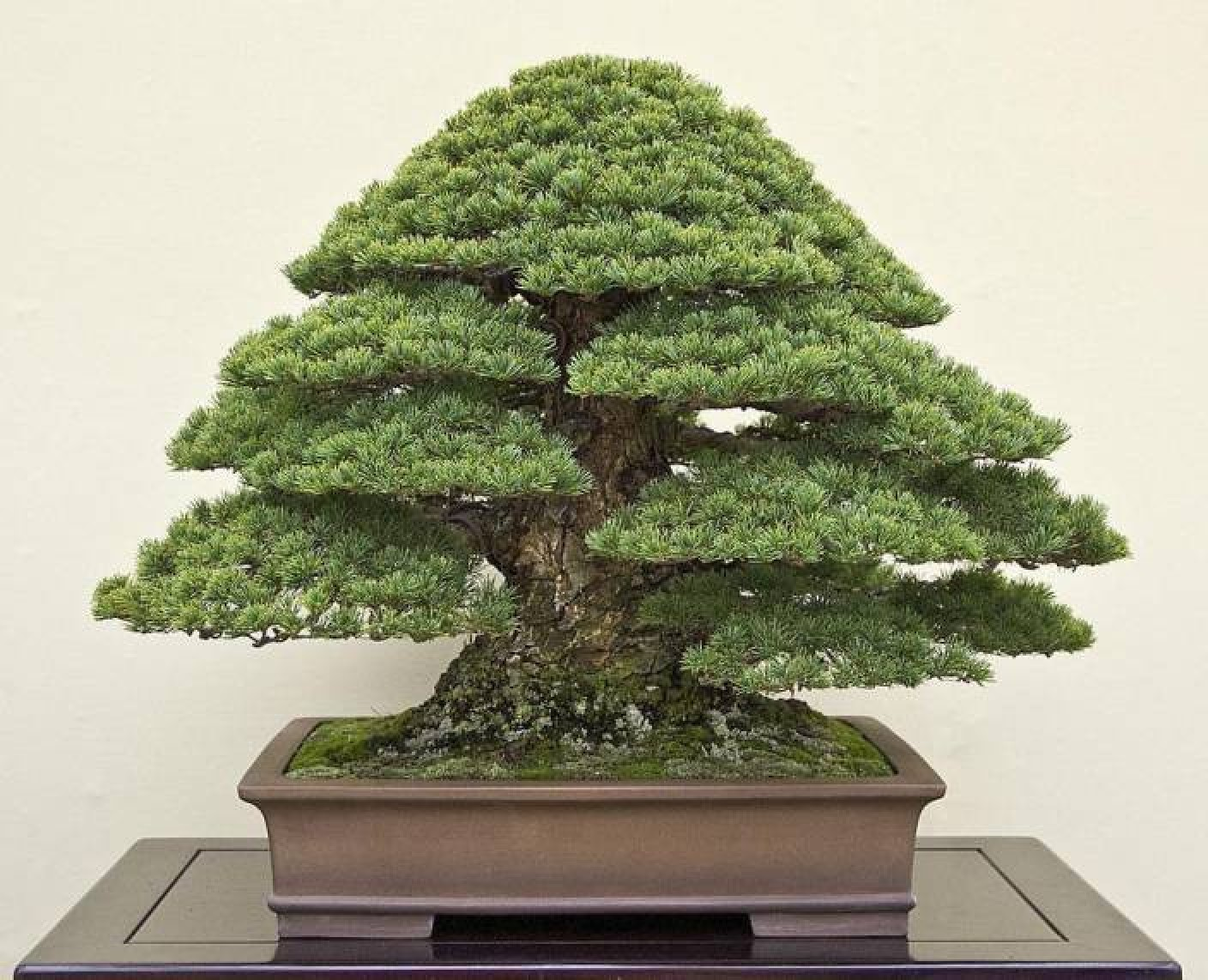 Priyathams BONSAI Japanese Black Pine Seed Price in India ...