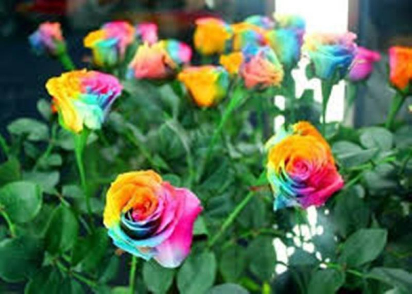 Rosemerc rose seed price in india buy rosemerc rose seed for Where can i buy rainbow roses in the uk