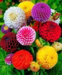 FABSHELL Dahlia Mixed Seed
