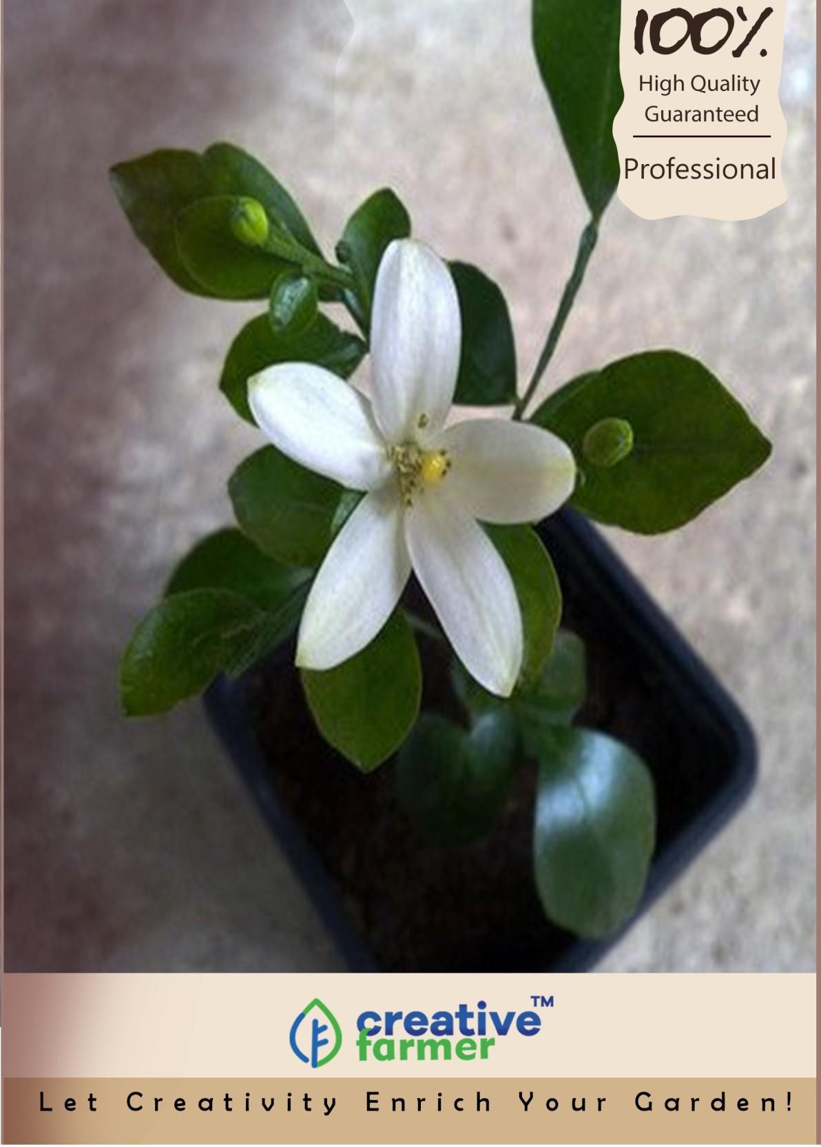 Creative Farmer Camunium Exoticum Kamani Flower Jasmine Seeds Seed