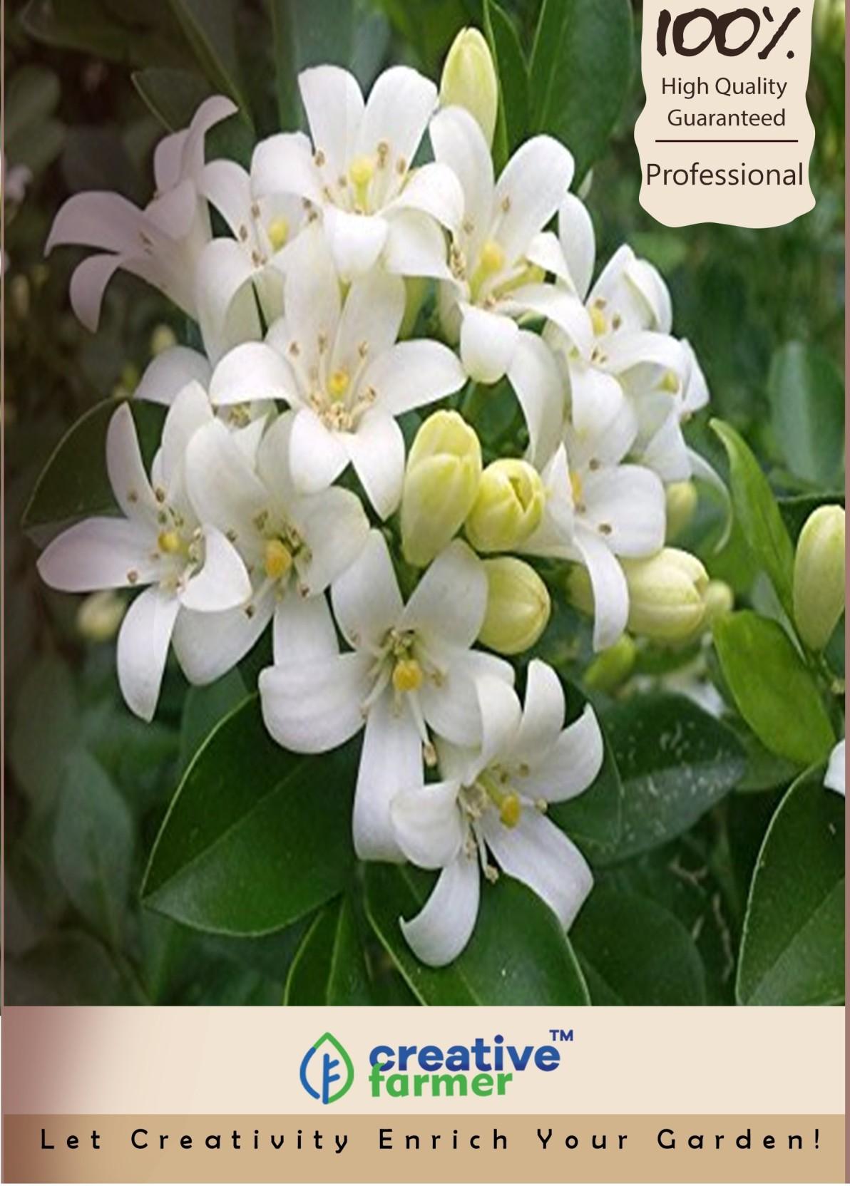 Creative Farmer Jasmine Seed Price In India Buy Creative Farmer