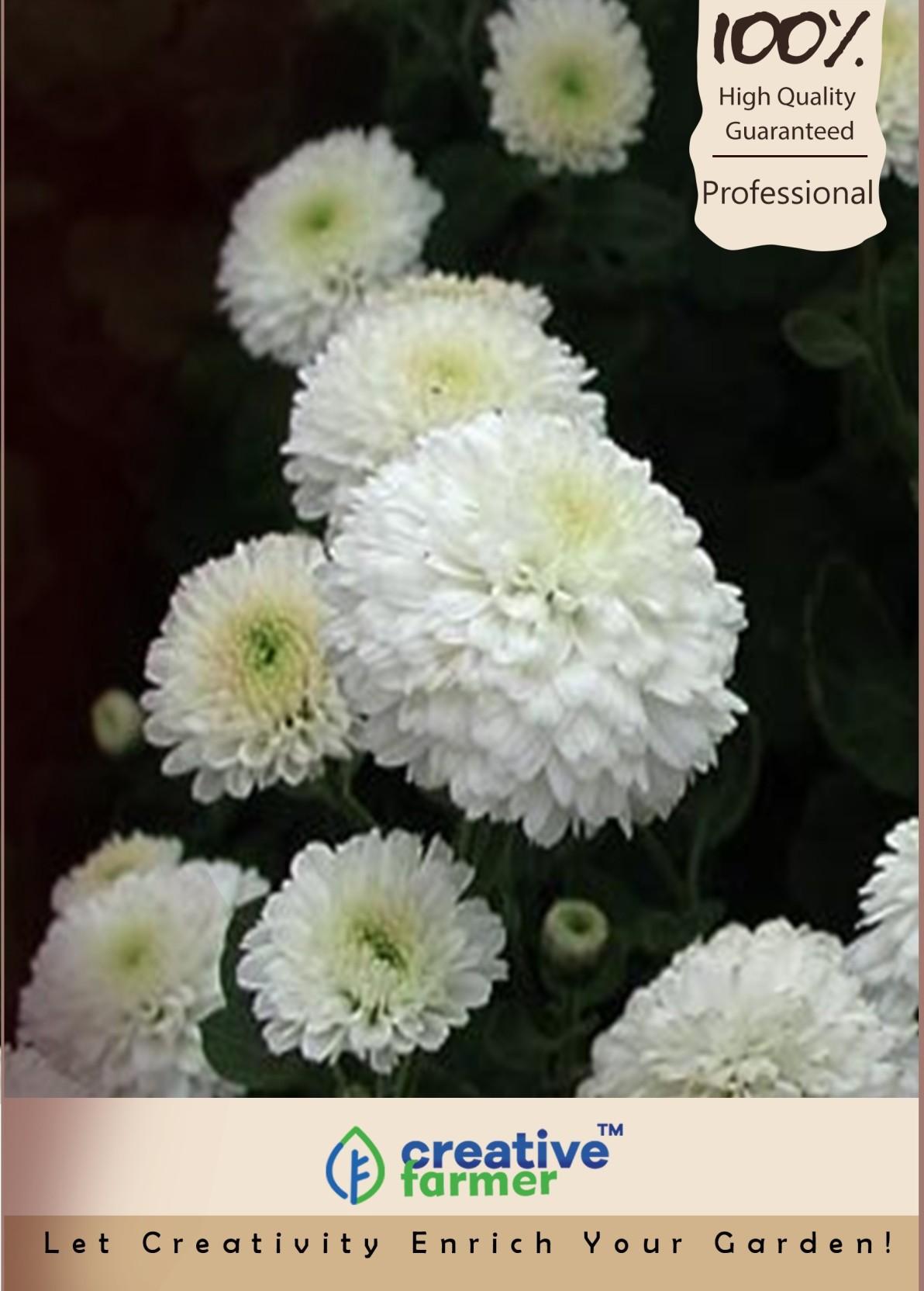 Creative Farmer Jamanthi Poovu Chrysanthemum White Seed Price In