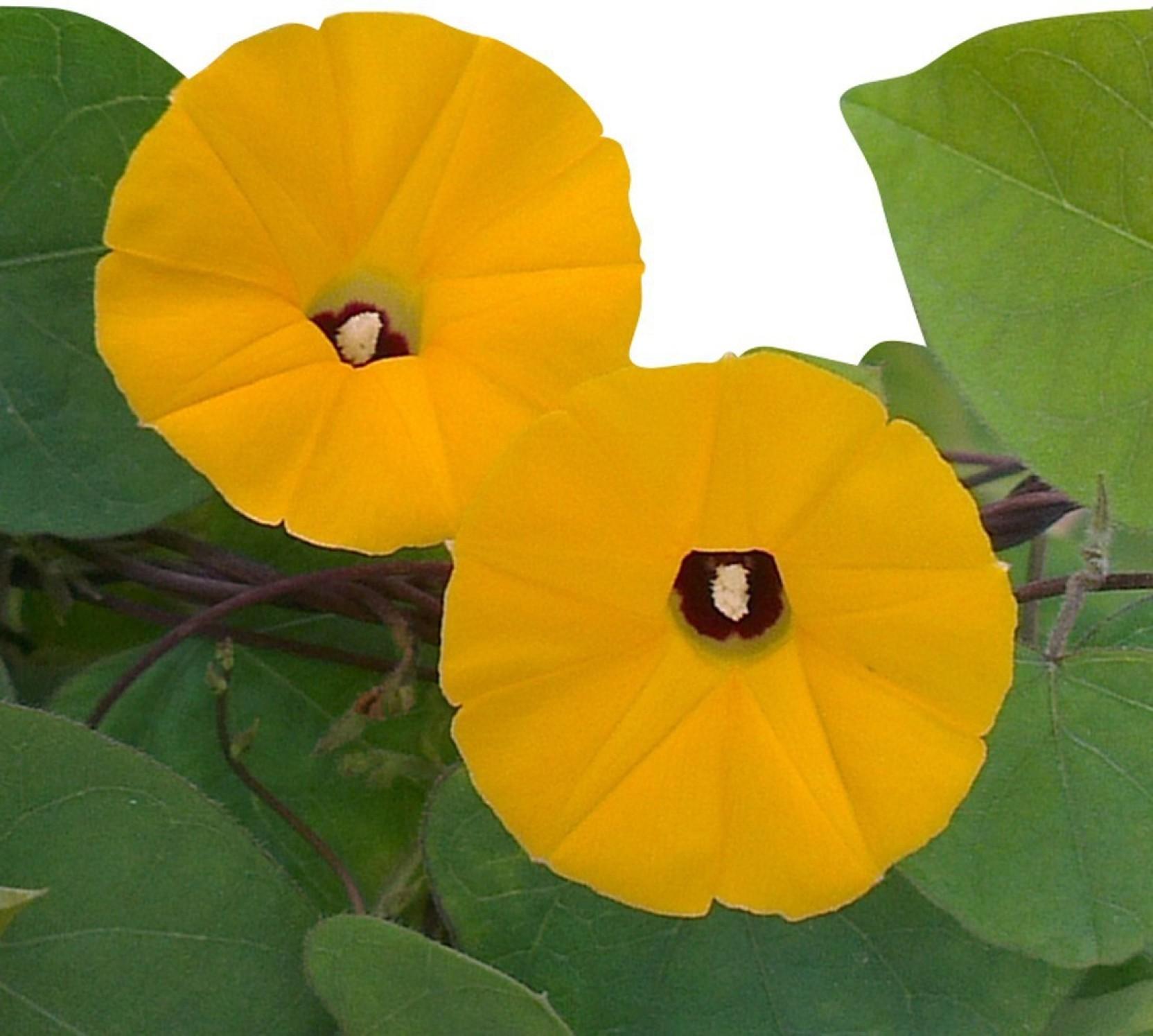 Futaba Glory Seed Price in India - Buy Futaba Glory Seed online at