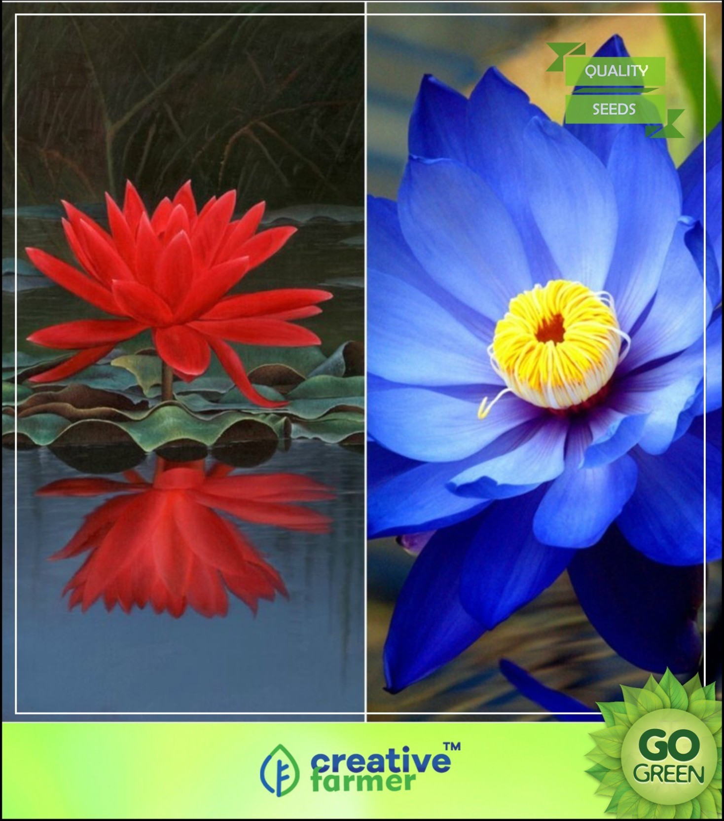 Creative Farmer Lotus Flower Seeds Red Blue Colors Seeds For