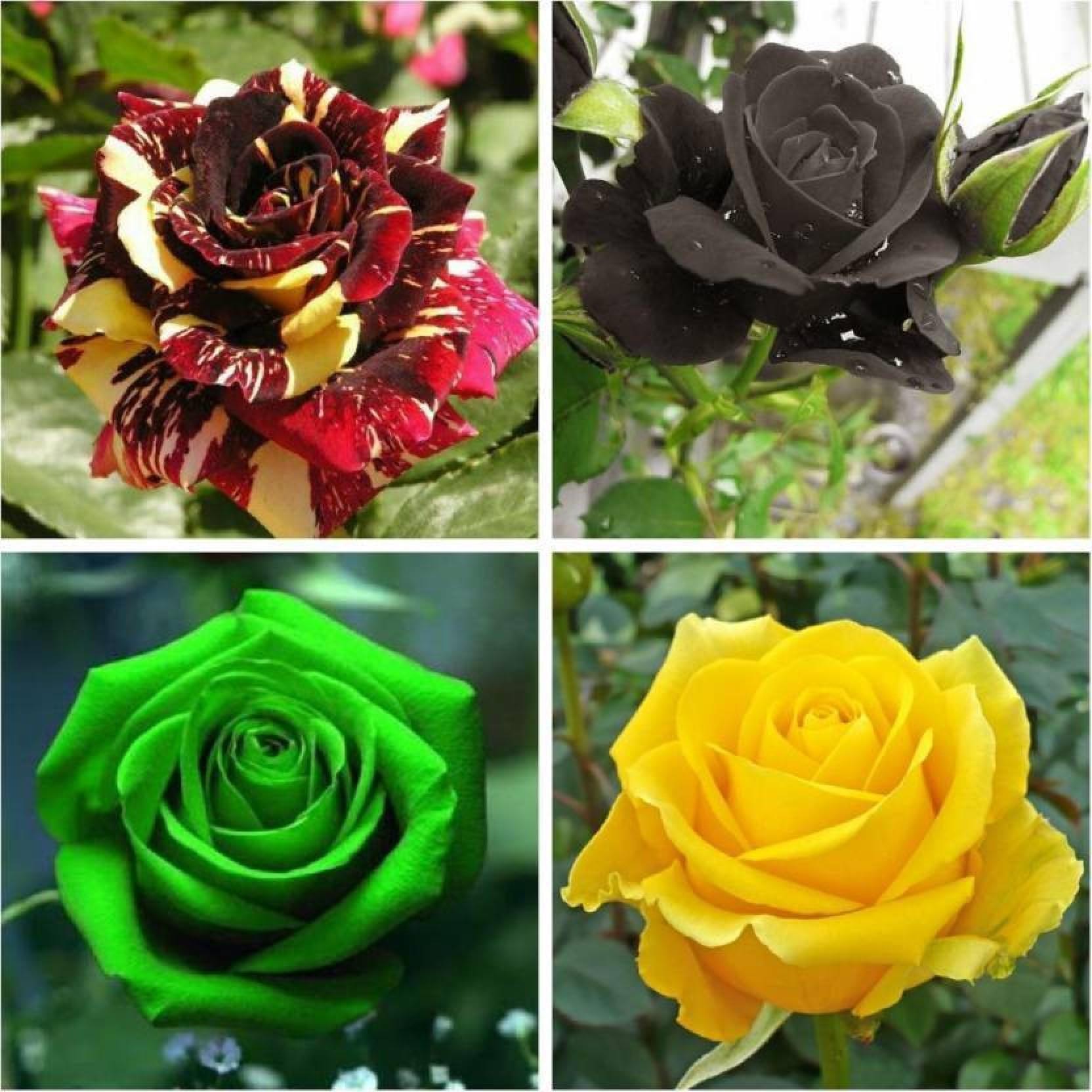 Priyathams Gardens Rare Exotic Rose Flower Seeds Combo Black