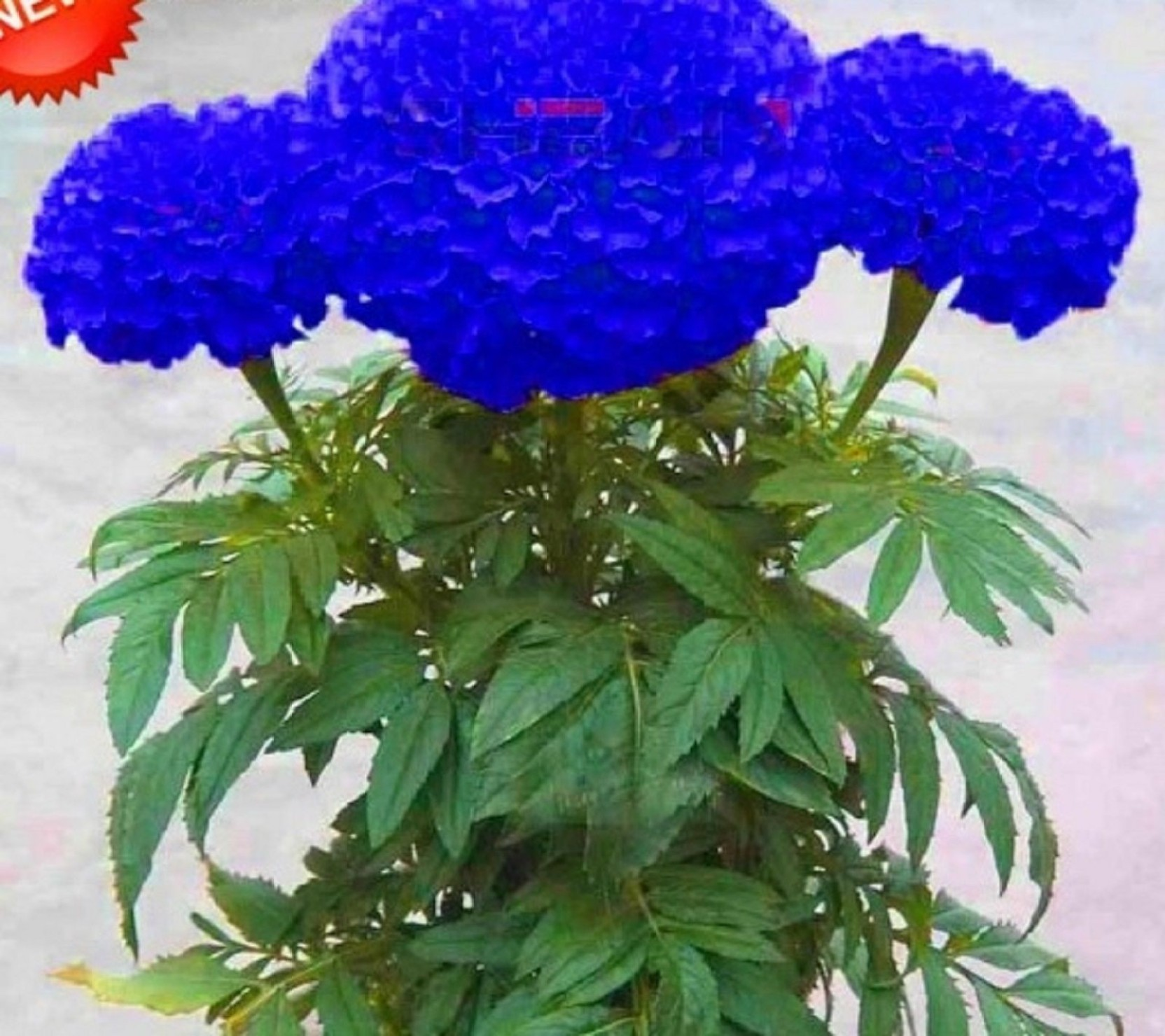 Generic Marigold Seed Price In India Buy Generic Marigold Seed