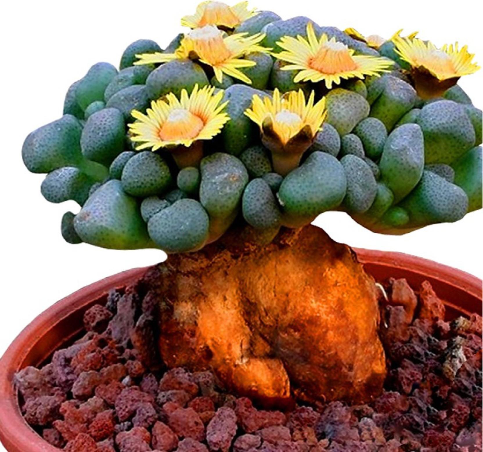 Nema Beautiful Rare Flower Seed Price In India Buy Nema Beautiful