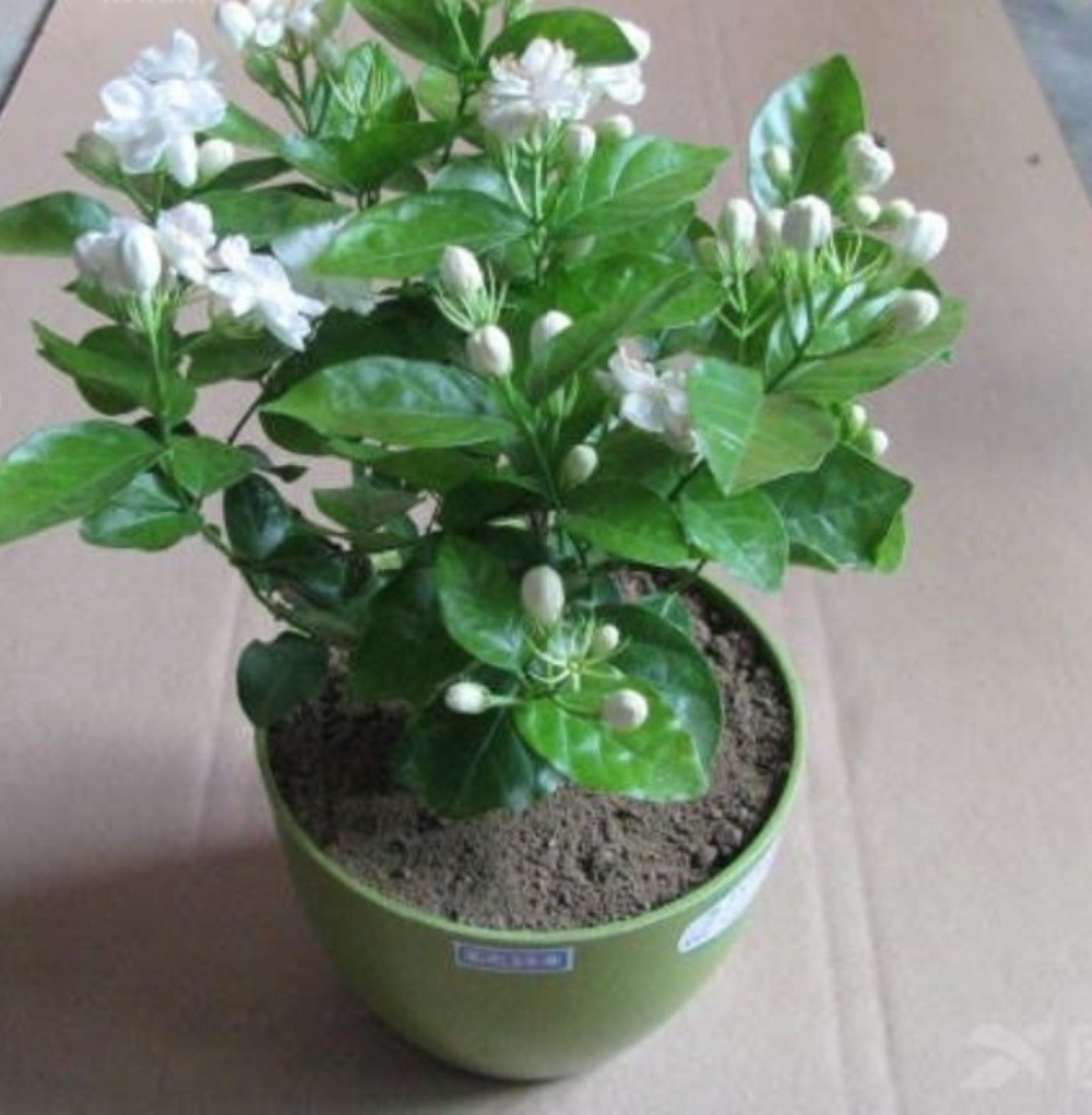 Priyathams imported cape jasmine plant seed price in india buy priyathams imported cape jasmine plant seed add to cart izmirmasajfo