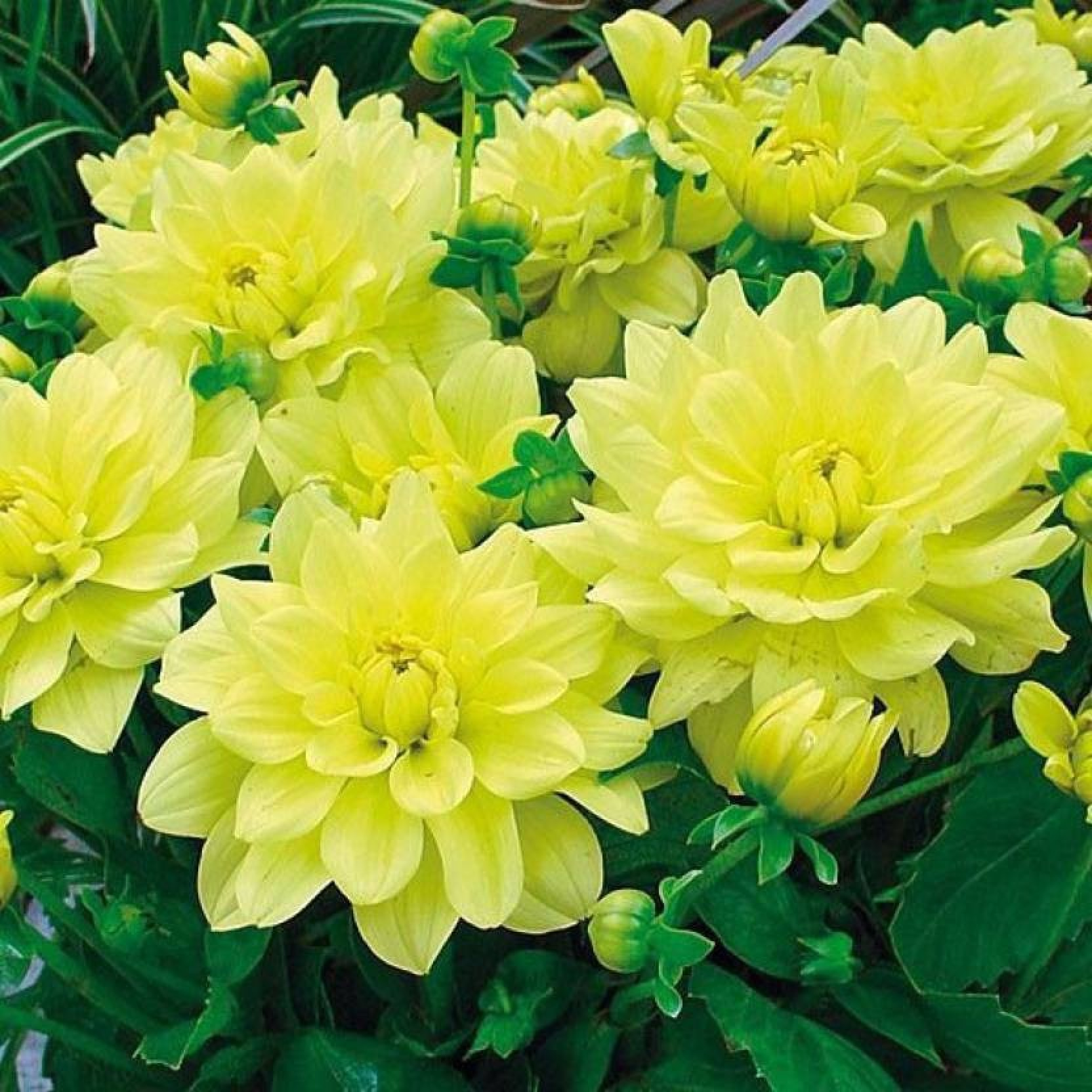 Priyathams Rare Exotic Beautiful Yellow Dahlia Seed Price In India