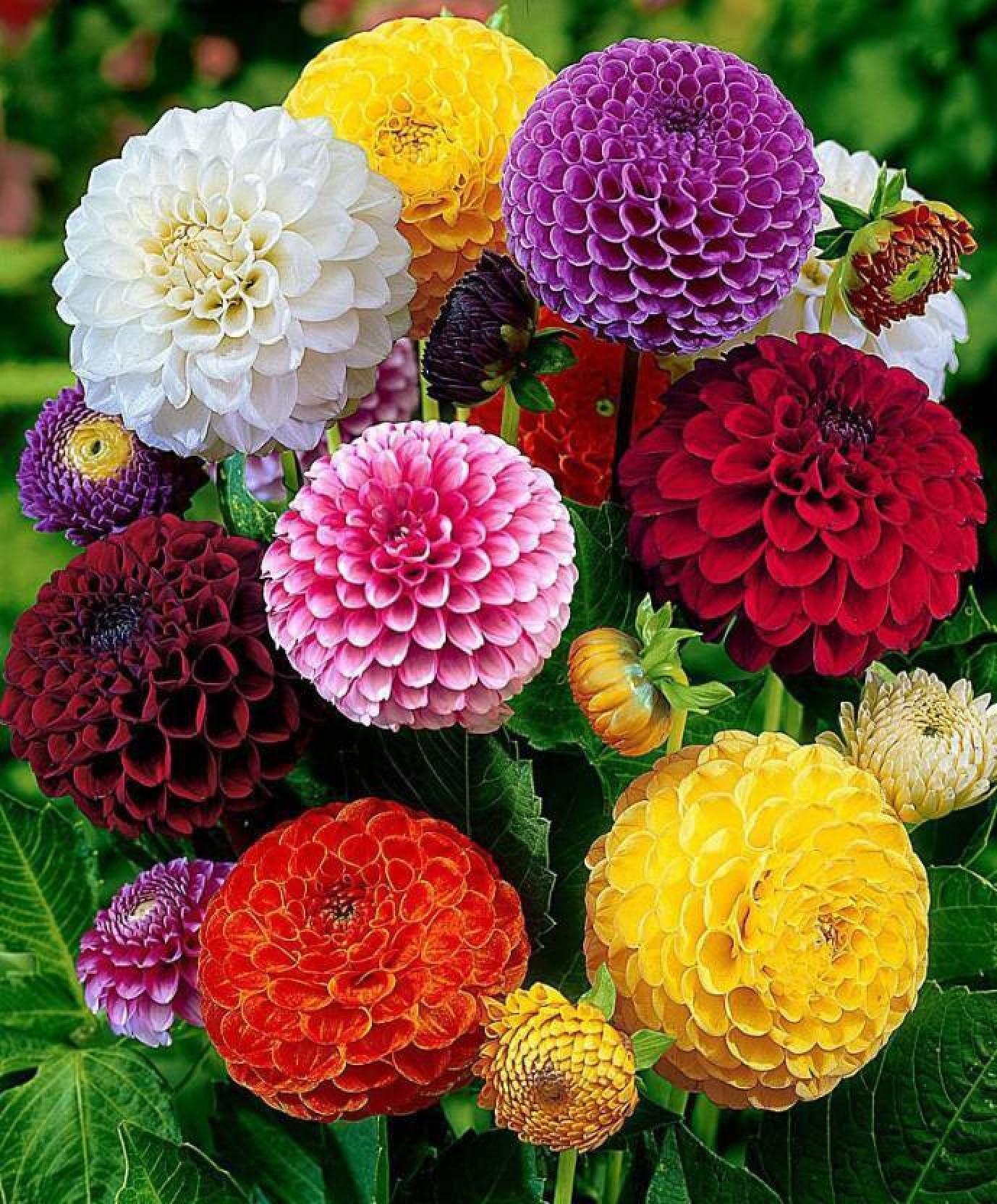Priyathams Dahlia Mixed Beautiful Flower Plant Seed Price In India