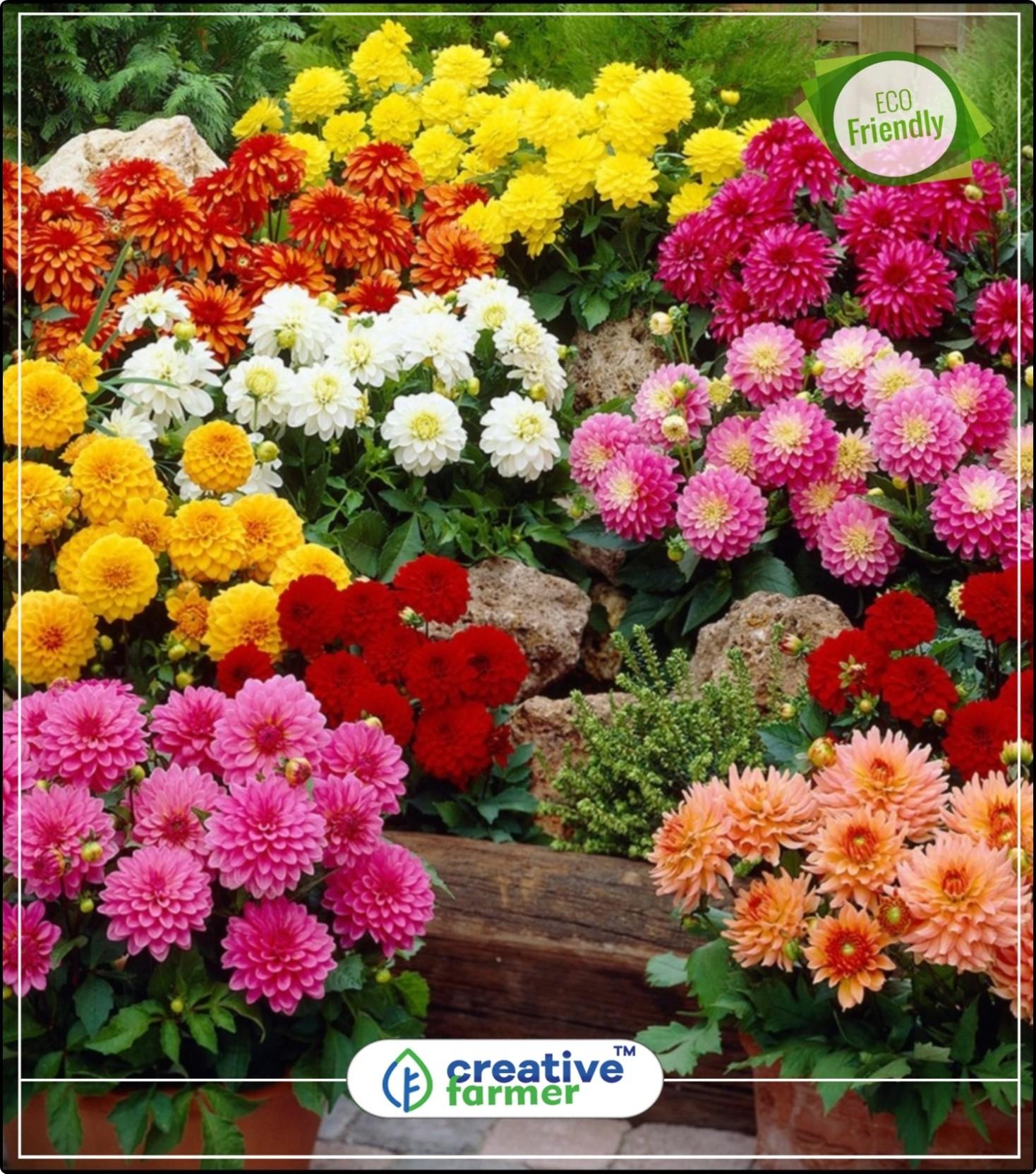 creative farmer dahlia hortensis flower seeds for all season india kitchen  garden plant seeds 20indoor, outdoor kitchen garden plant seeds seed