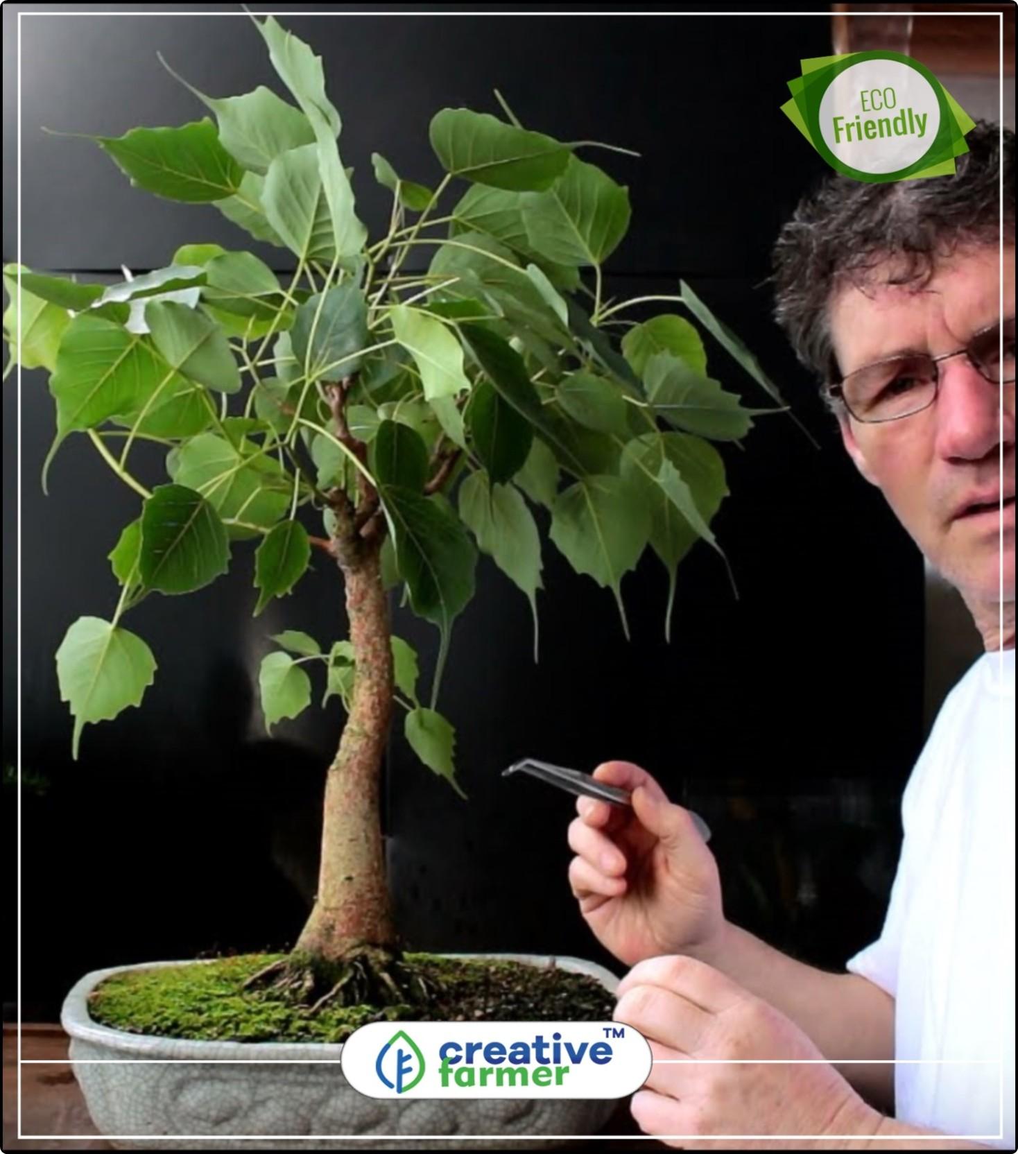 10 SEMI Bonsai Ficus glomerata