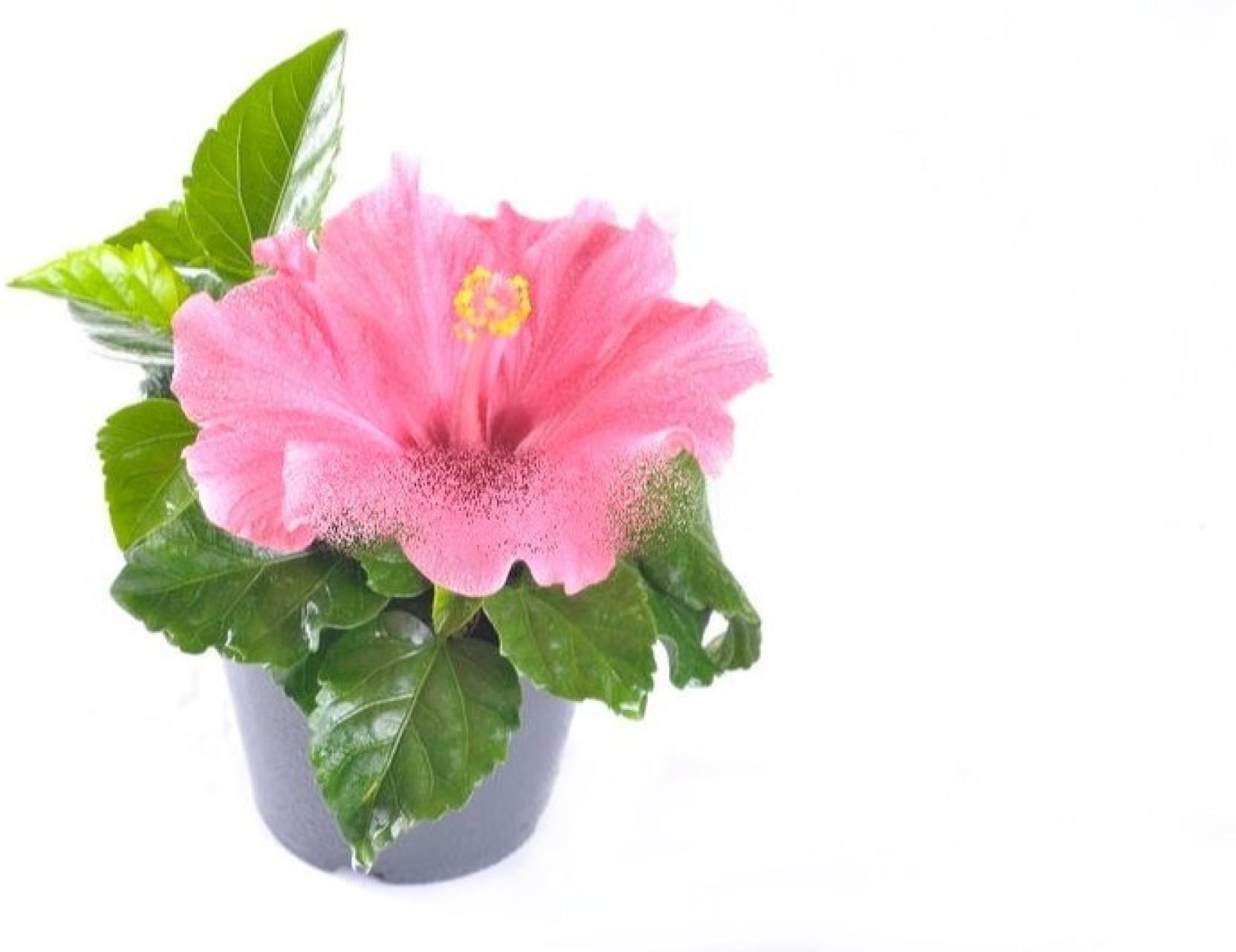 Ojorey Hibiscus Rosa Dwarf Live Plant English Variety Flower Plant