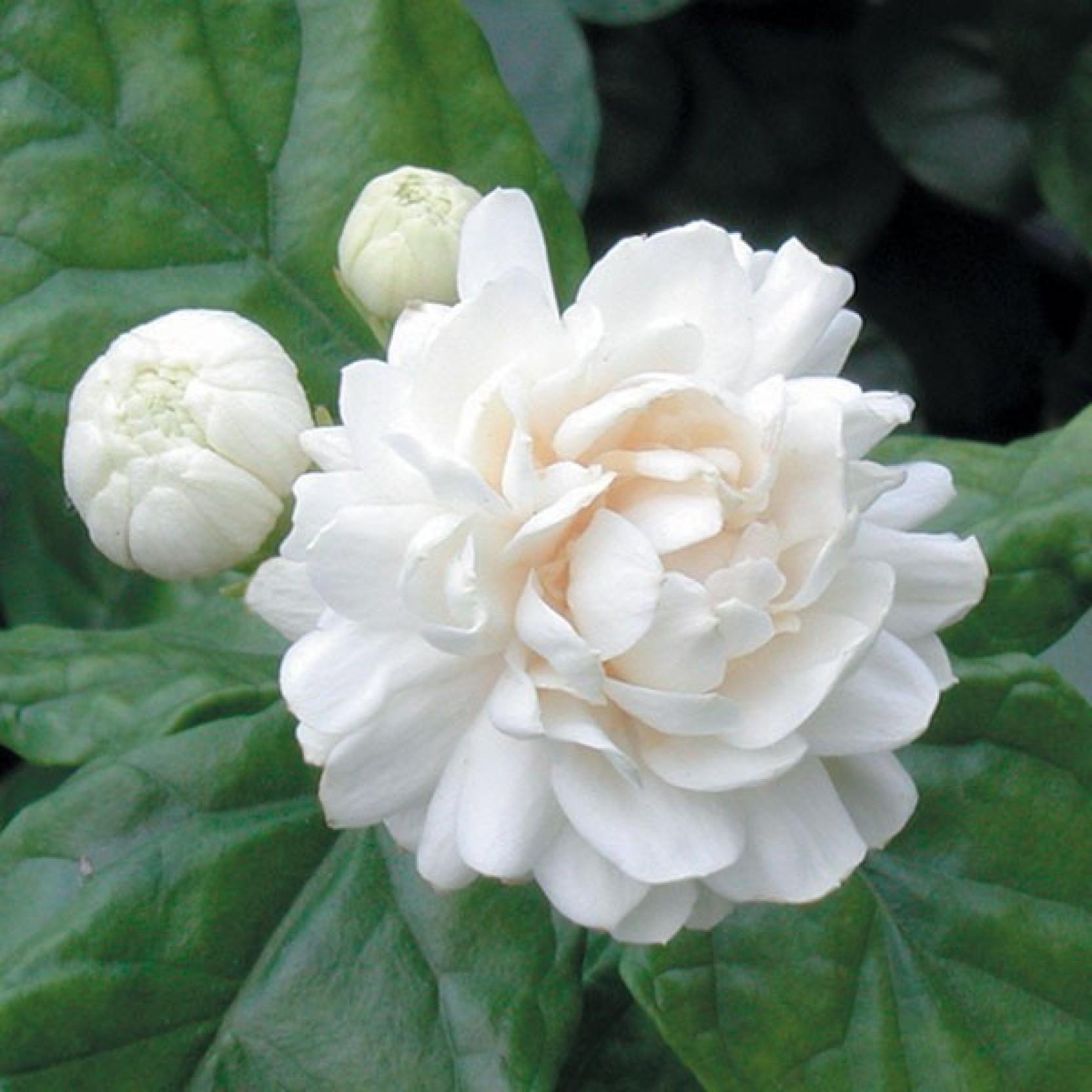 Ojorey mogra flower plantjasmine plant with pot plant price in add to cart izmirmasajfo