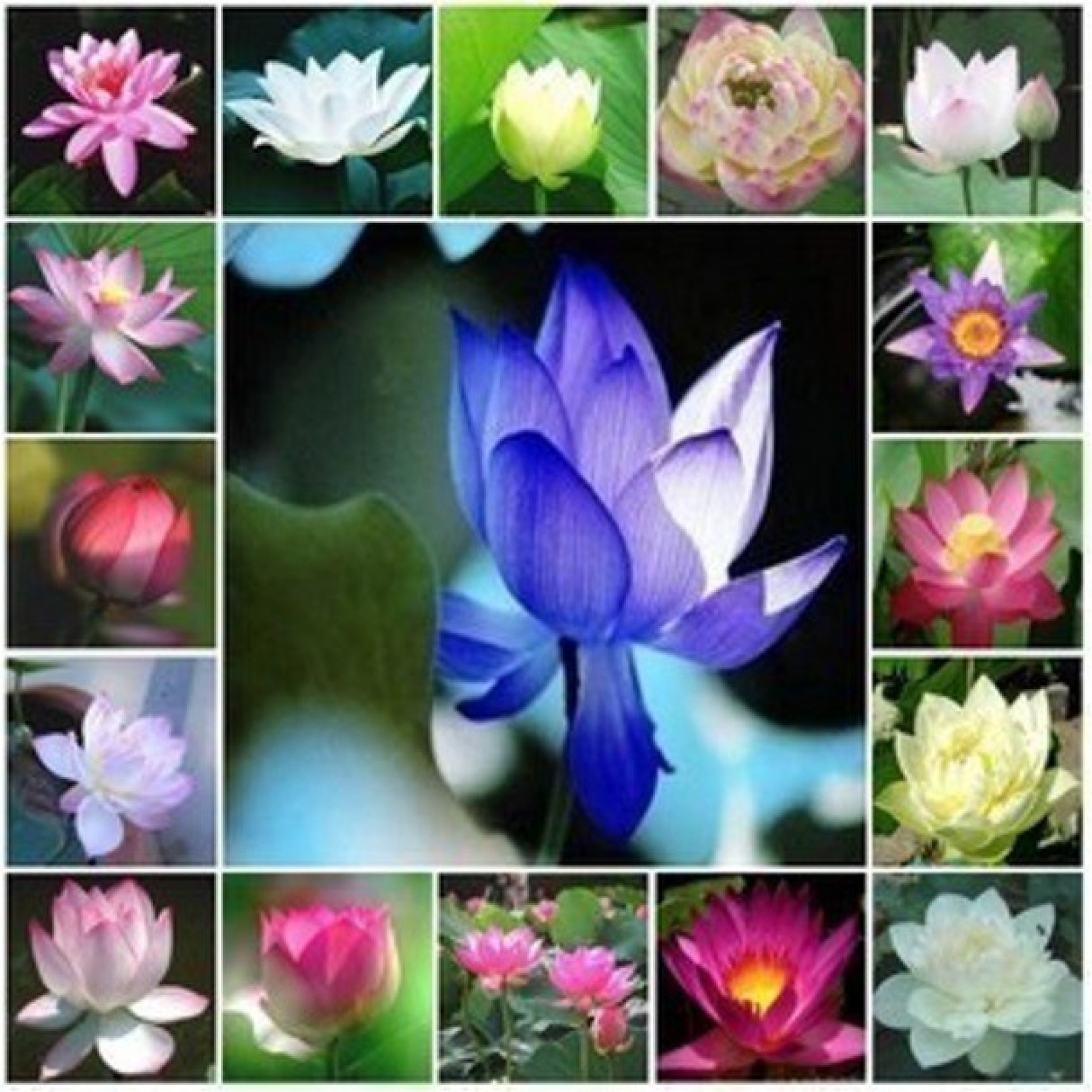 Priyathams 100 Seeds Mix Of 17 Types Of Imported Lotus Plant Seed