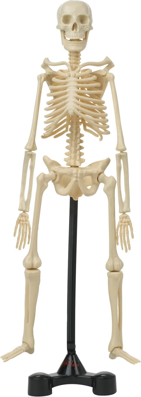 Hamleys Bones Skeleton Model Kit Price in India - Buy Hamleys Bones ...