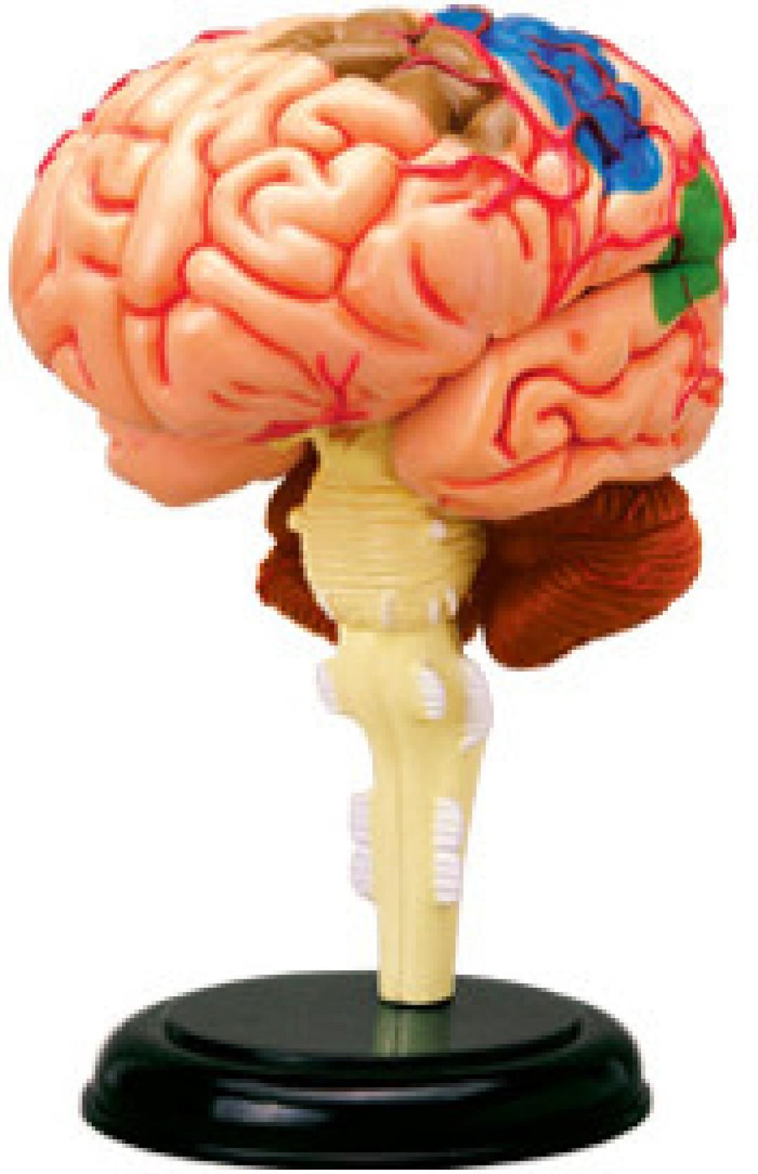 4D Master Human Brain Anatomy Model Price in India - Buy 4D Master ...