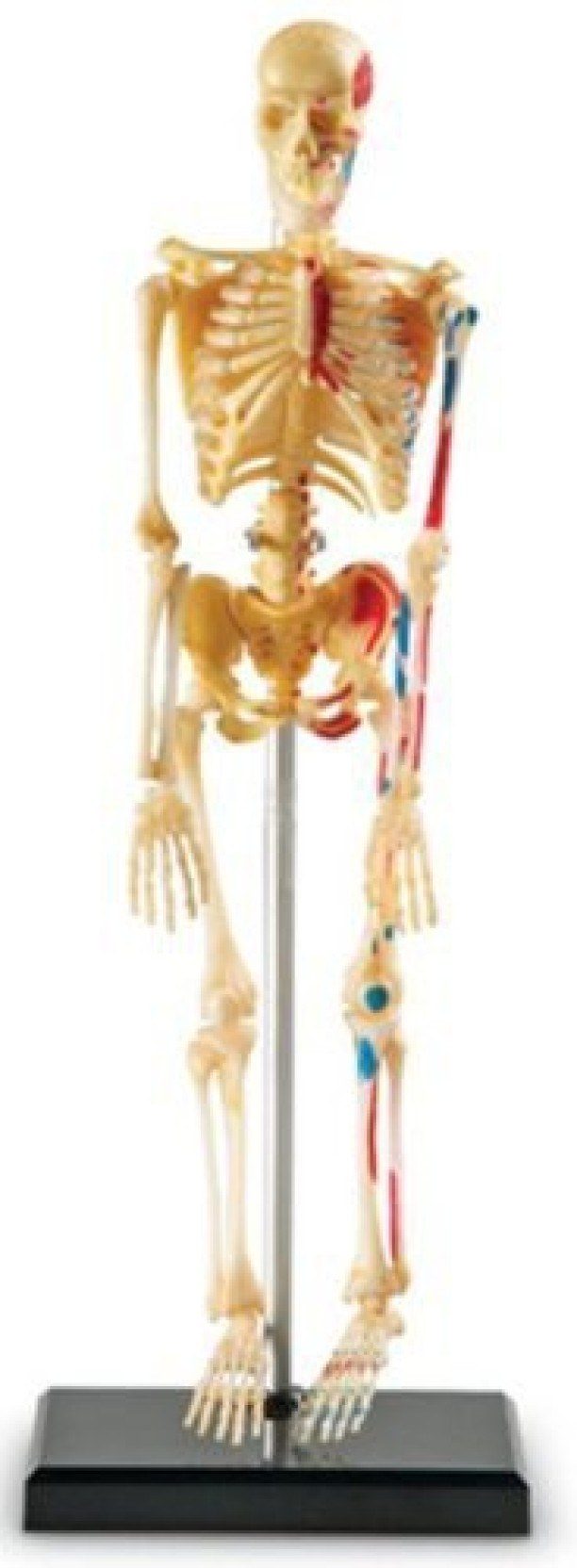 Learning Resources Human Skeleton Anatomy Model Price In India Buy