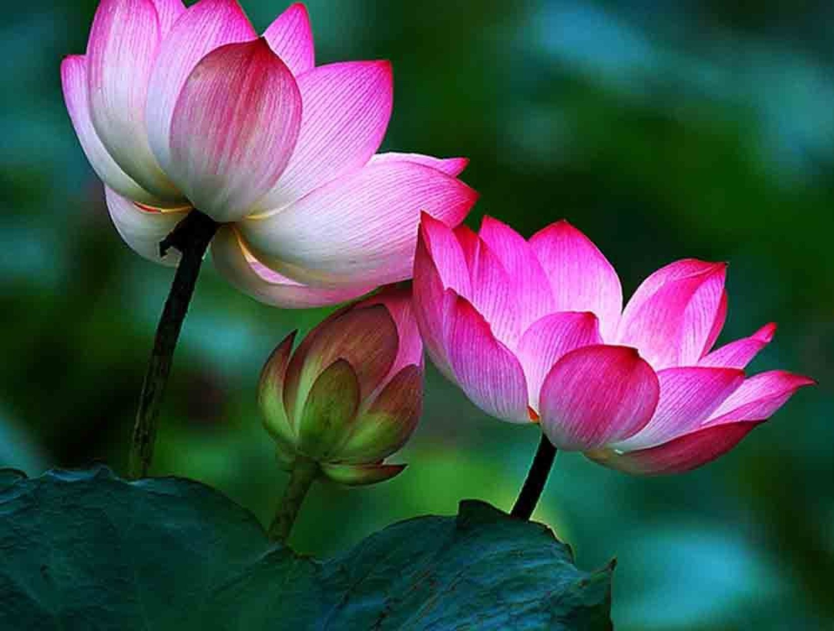 Where To Buy Lotus Flowers Image Collections Flower Wallpaper Hd