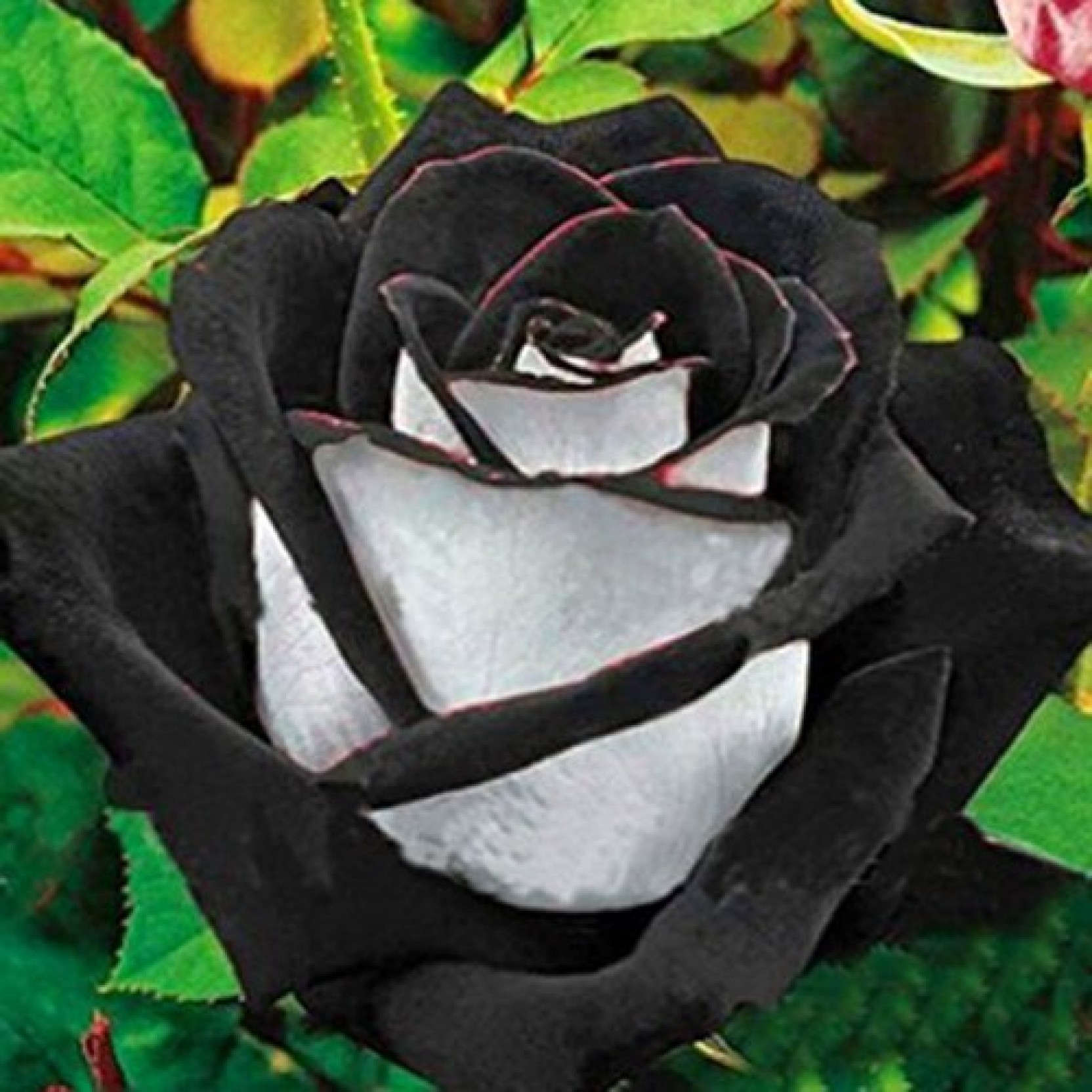 Futaba Rare White And Black Rose Seeds Seed Price In India Buy