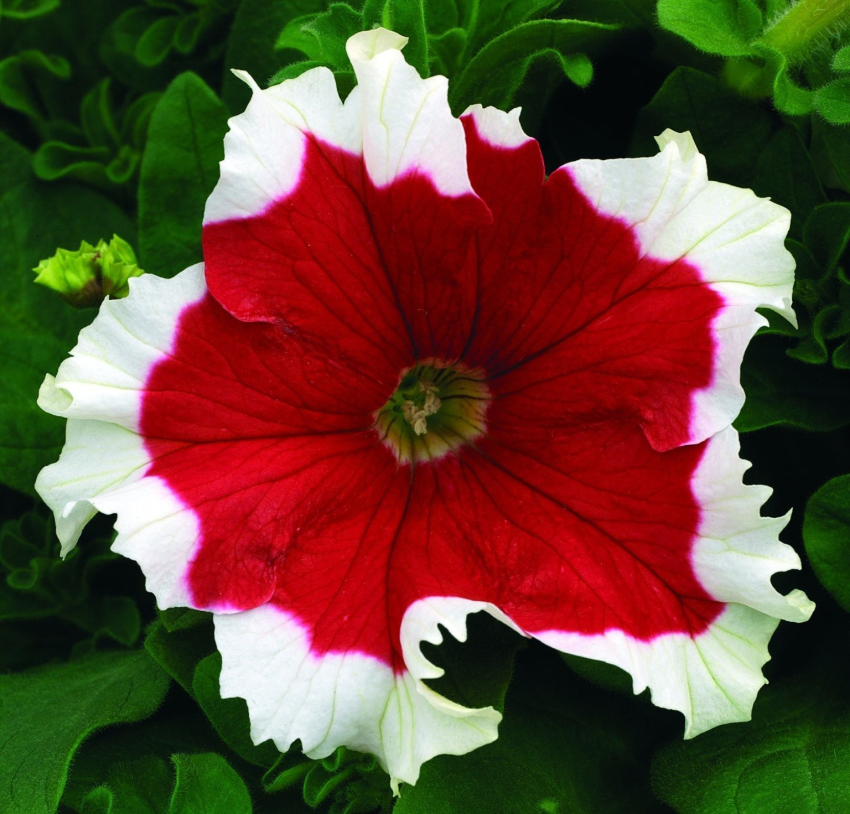 Futaba Red Petunia Flower With White Sides Seeds Seed Price In India