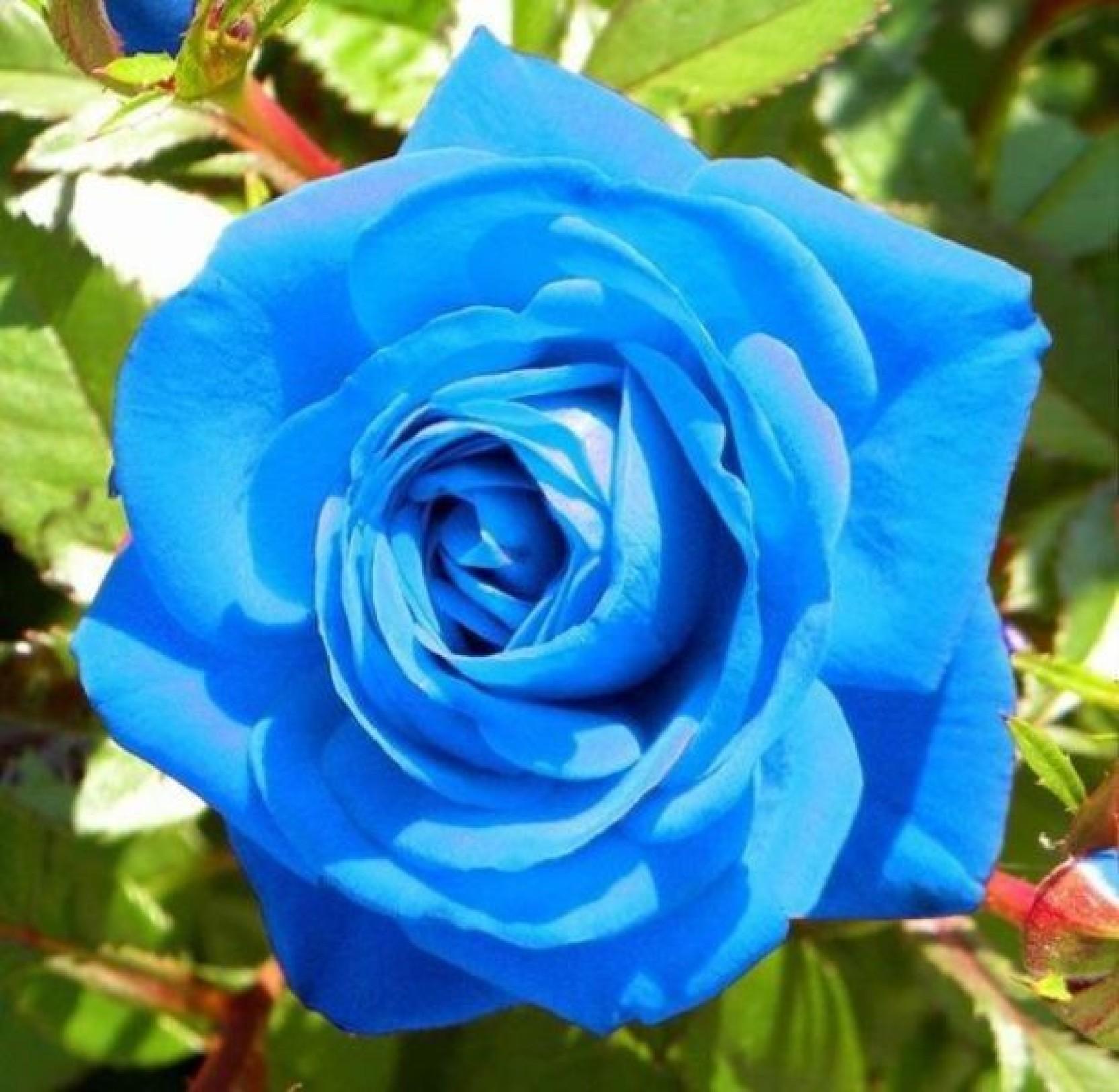 Rosemerc Rose Seed Price In India Buy Rosemerc Rose Seed Online At