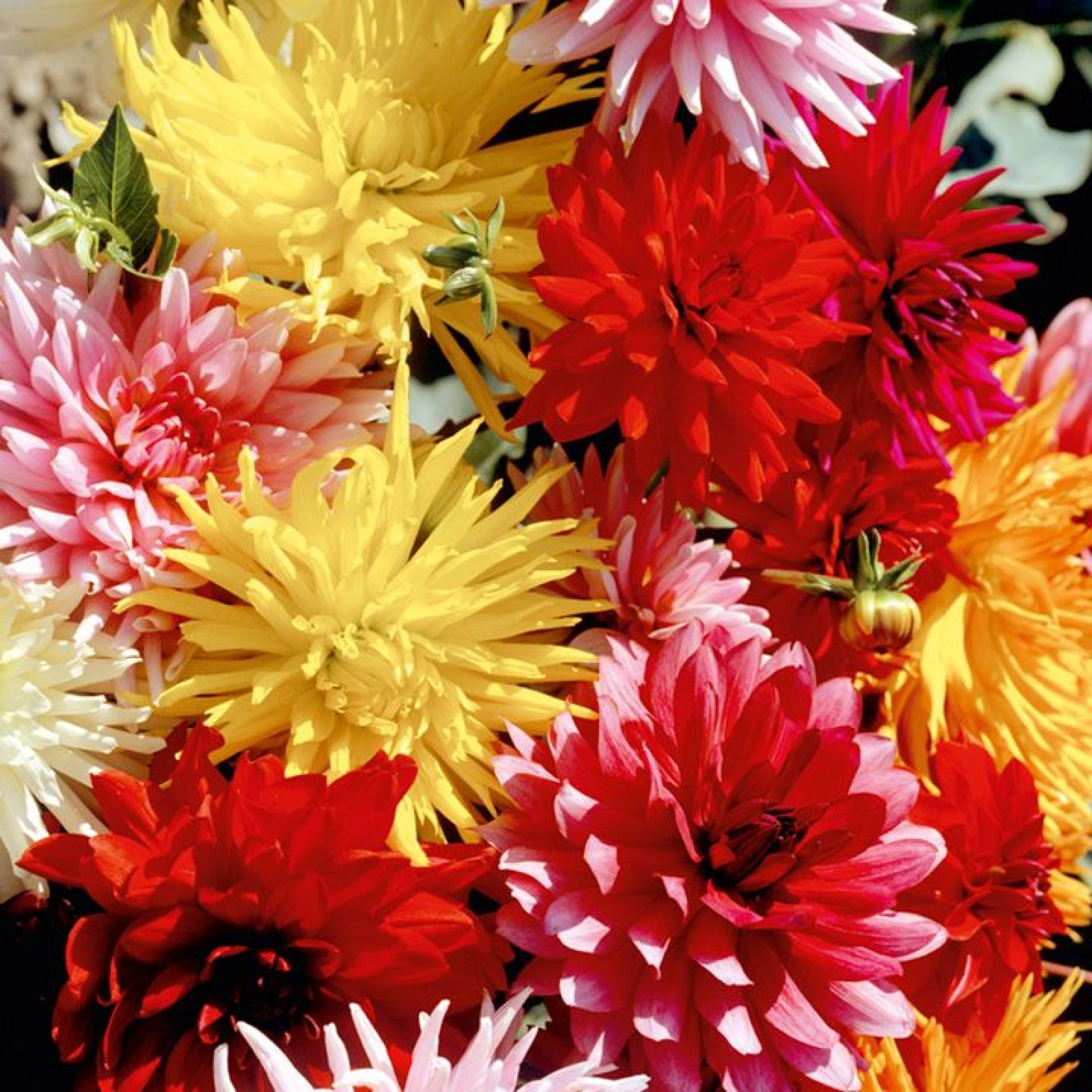 Eplant Dahlia Seed Price In India Buy Eplant Dahlia Seed Online At