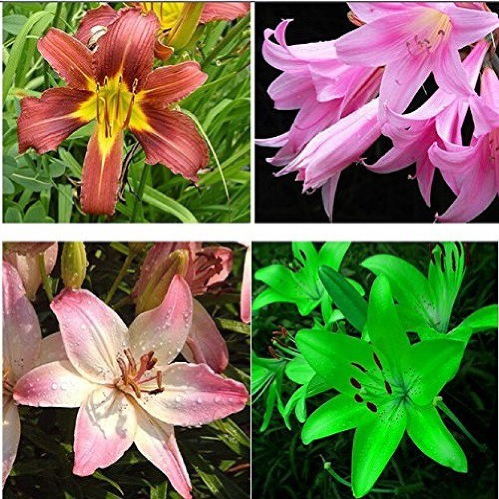 Futaba Lily Flower Garden Seeds Plant Seed Price In India Buy