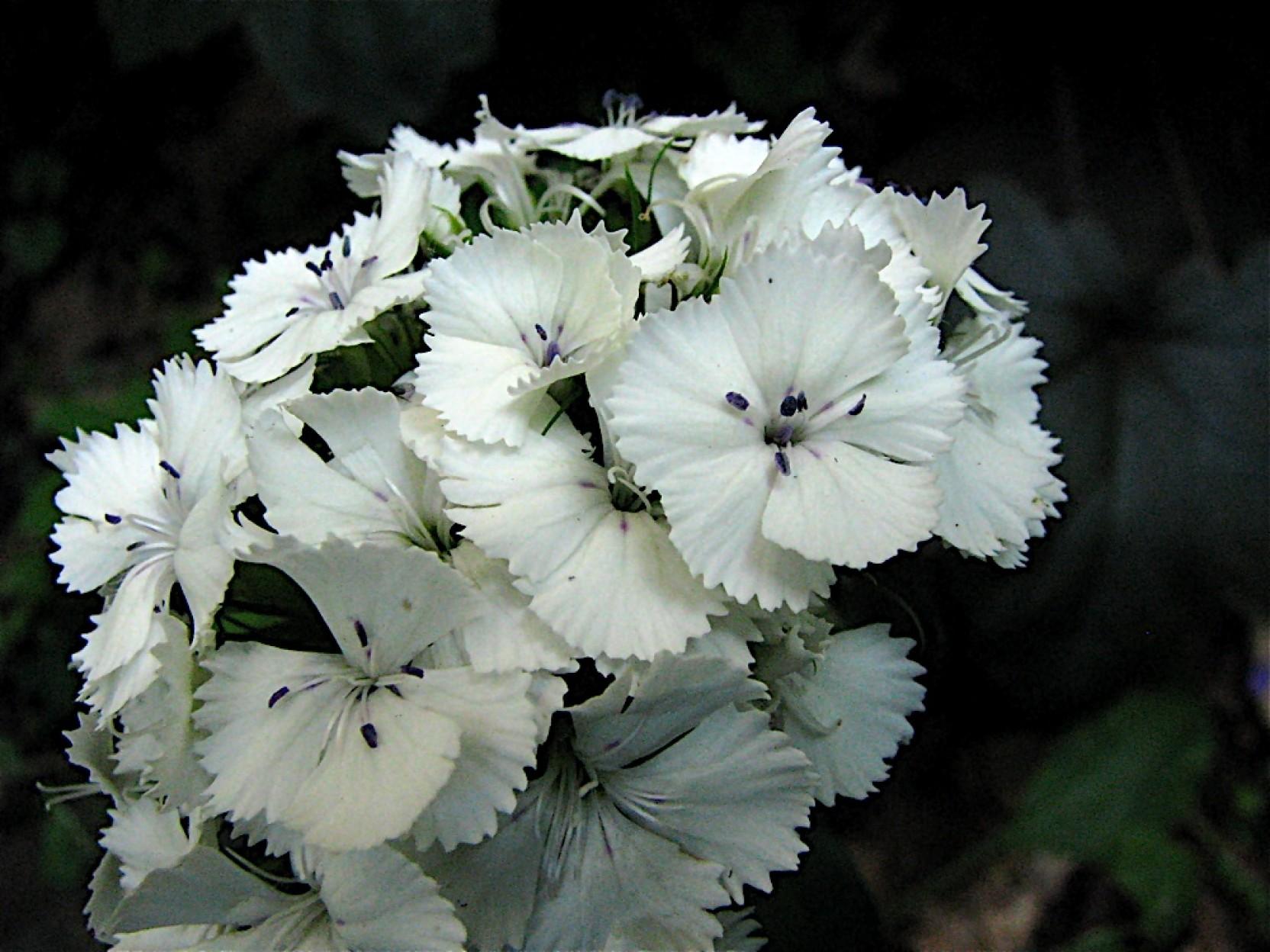 Nooelec India Sweet William White Seed Price In India Buy Nooelec