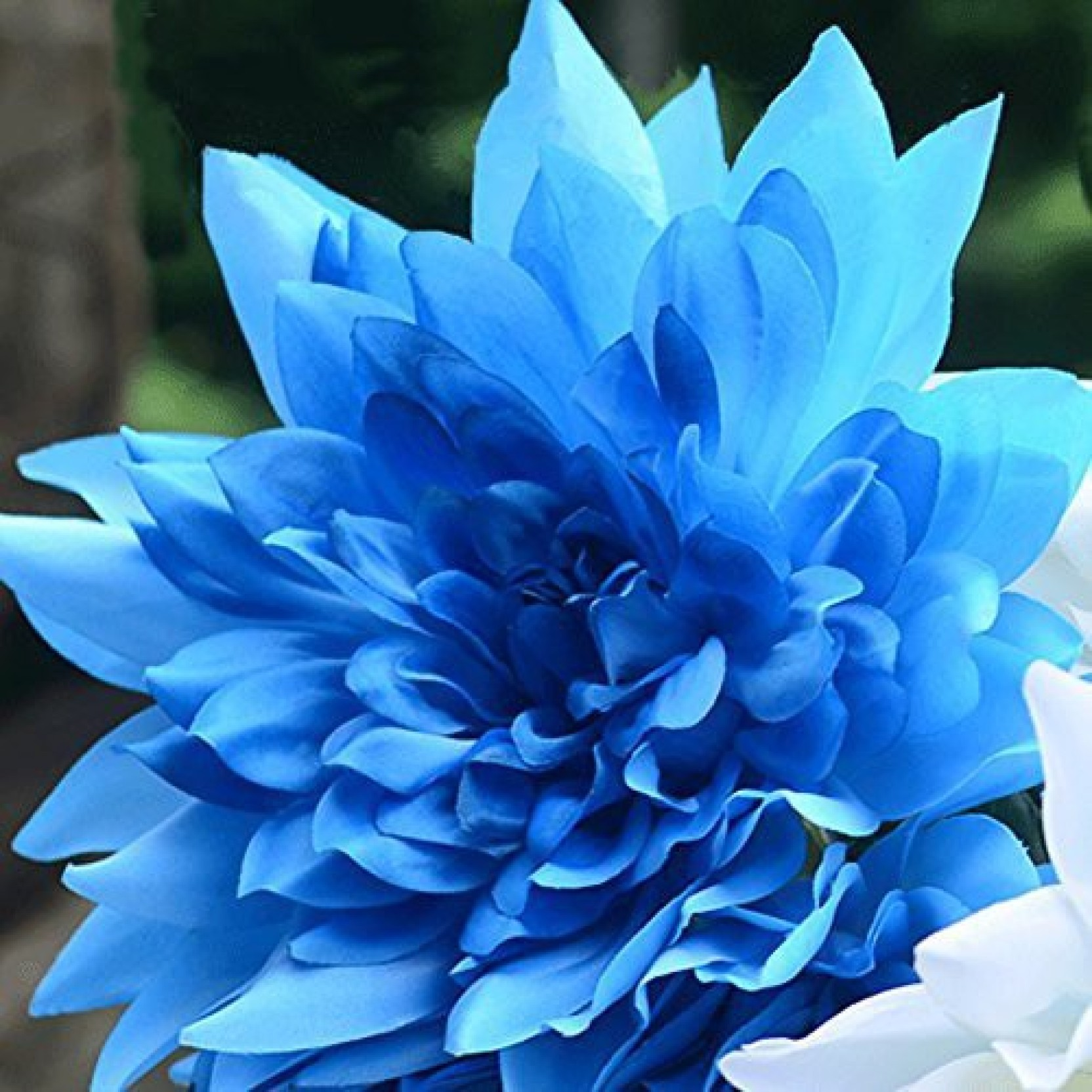 Futaba Blue Fireball Dahlia Flower Seed Price In India Buy Futaba
