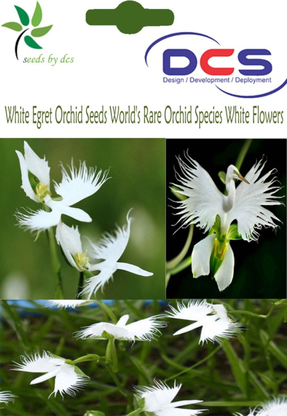 Dcs 006 White Egret Orchid Seeds Worlds Rare Orchid Species White