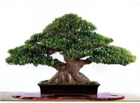 Priyathams Imported Bonsai Beautiful Banyan Tree Bonsai Ficus Benghalensis Seed(10 per packet)