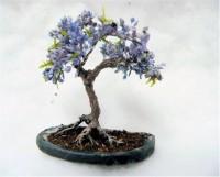 Priyathams Bonsai Jacaranda Mimosifolia Blue Tree Seed(10 per packet)
