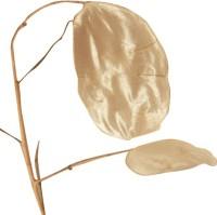 Futaba Silver fan grass Seed(50 per packet)