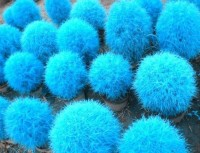 Priyathams Imported Beautiful Blue Grass for Indoor/Potted/Balcony Seed(50 per packet)