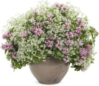 Greenly Imported Bonsai Beautiful Potted/Balcony Grass Seed (30 per packet) Seed(30 per packet)