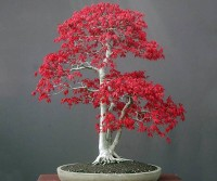 Greenly Imported Japanese Beautiful Bonsai RED MAPLE Plan Seed(10 per packet)