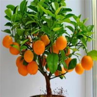 GREEN FARMS Orange Seed(15 per packet)