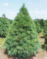 Variety House Green Pine Pinus Parviflora Tree Seed(5 per packet)