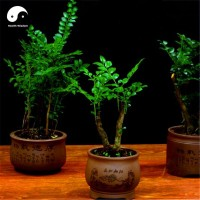 Variety House Indian Red Sandalwood Grow Rare Wood Aromatic Flowers Tree Seed(10 per packet)