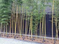 Vsquare Retail Indian Fresh Weavers Bambusa Tree Seed(20 per packet)