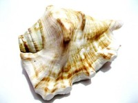 Craft Mart Pooja Sound Shankh shankh Conch Shell Decorative, Blowing Shankh(Beige)