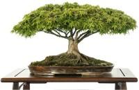 Priyathams Imported Japanese BONSAI green Maple Seed(20 per packet)