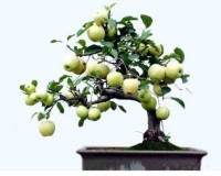 Priyathams Imported Bonsai Green Apple Indoor/potted Tree Seed(20 per packet)