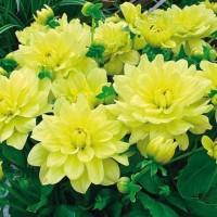 Priyathams Rare Exotic Beautiful Yellow Dahlia Seed(30 per packet)