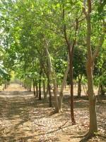Generic 100 Fresh Seeds of Precious Indian Sandalwood Santalum Album Chandan Sreegandha Tree for Growing Seed(10 per packet)