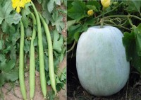 Airex Sponge Gourd White Long and Ash Gourd Mithai Petha (Hybrid) Seed (Pack of 30 Seed Sponge Gourd White Long + 30 Seed Ash Gourd Mithai Petha (Hybrid) Seed Seed(60 per packet)