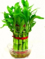 AGAMI Green 2 Layer Lucky Bamboo Indoor Plant for Feng Shui with Glass Bowl Seed(1 per packet)