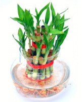 AGAMI Green 2 Layer Lucky Bamboo Indoor Plant for Feng Shui with Big Round Glass Pot & Colored Jelly Balls Seed(1 per packet)